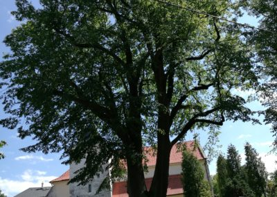 Ořez památné lípy - Nádherný strom